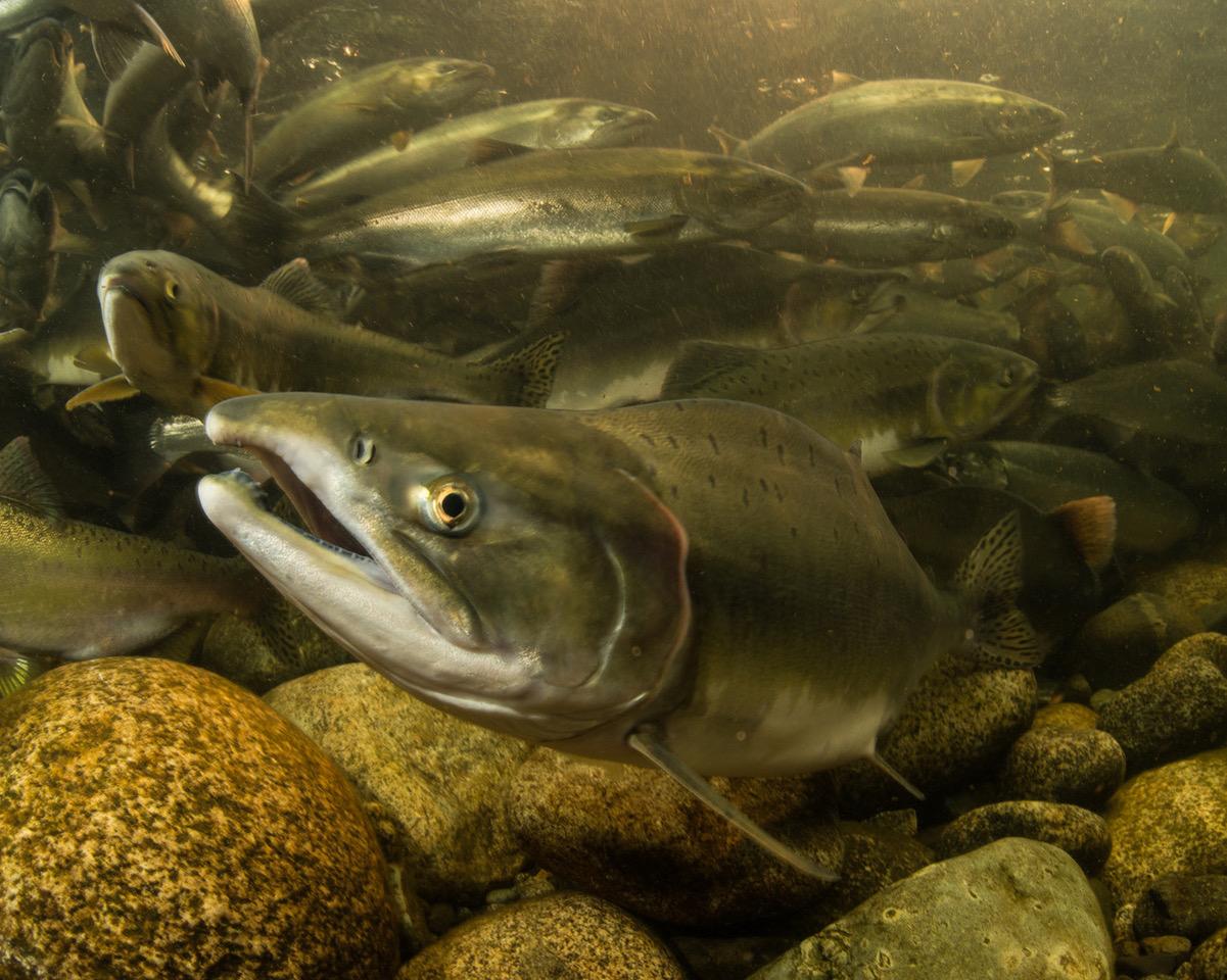 Our Salmon